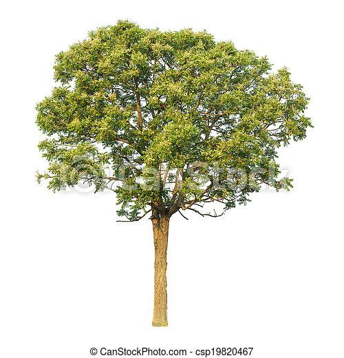 Planta Neem (Sa-Dao) - csp19820467