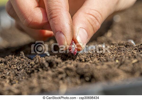 El primer plano de la mano femenina plantando una semilla de judía roja en un fértil soi - csp30698434