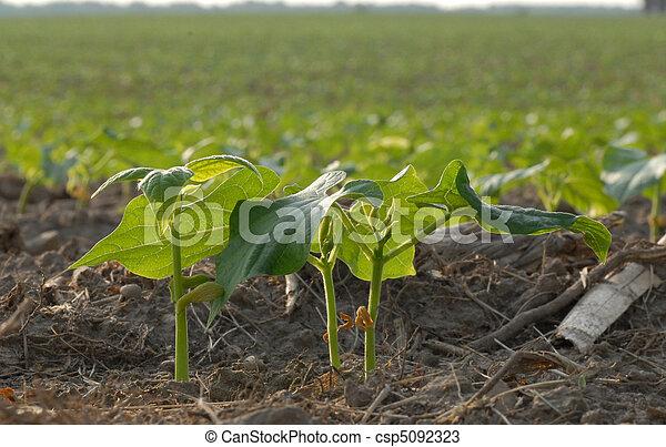 Plantas de soja de verano en el sur de Ontario - csp5092323