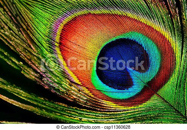 Pluma de pavo real - csp11360628