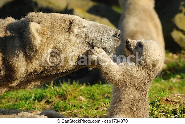 Oso polar y cachorro - csp1734070