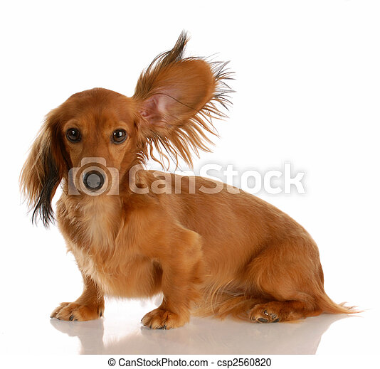 Un largo y peludo perro salchicha con una oreja de pie escuchando - csp2560820