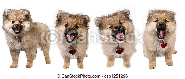 4 poses de un lindo perrito pomerano - csp1251296
