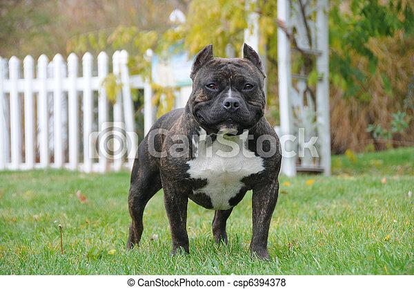 Puro canino americano - csp6394378