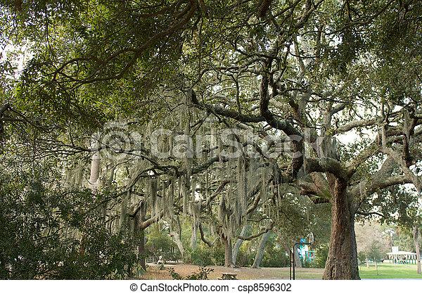 Un gran roble con musgo español colgando de las ramas - csp8596302
