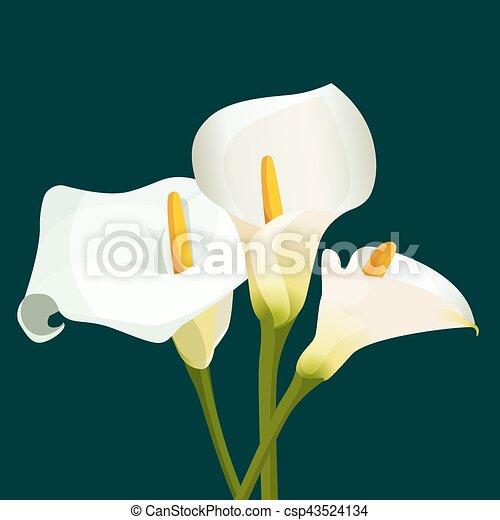 Bouquet de calas blancas de fondo verde oscuro - csp43524134