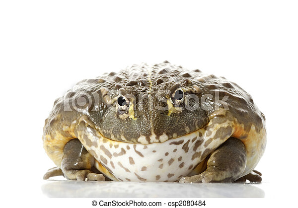 Rana africana de rana/pixie - csp2080484