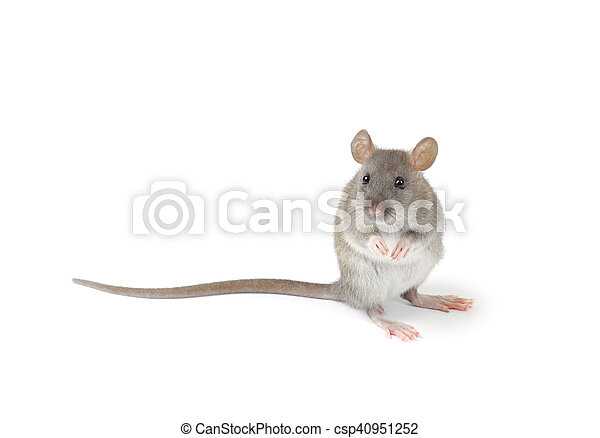 Rata - csp40951252