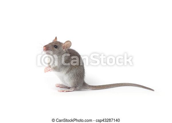 Rata - csp43287140