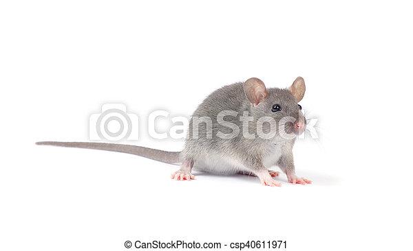 Rata - csp40611971