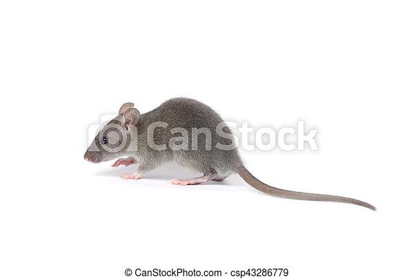 Rata - csp43286779