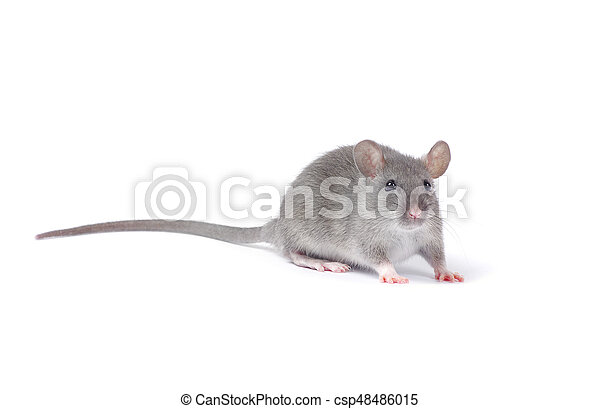 Rata - csp48486015
