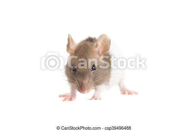 Rata - csp39496488