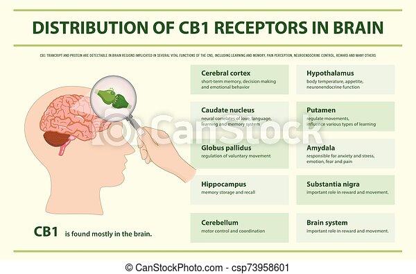 receptores, cerebro, infographic, distribución, cb1, horizontal - csp73958601