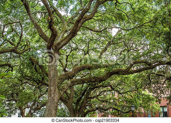 Robles con musgo español en el parque Savannah - csp21903334
