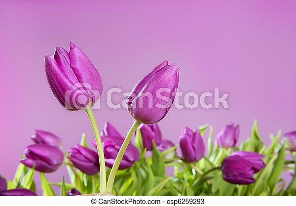 Tulipanes rosas flores rosadas en el estudio - csp6259293