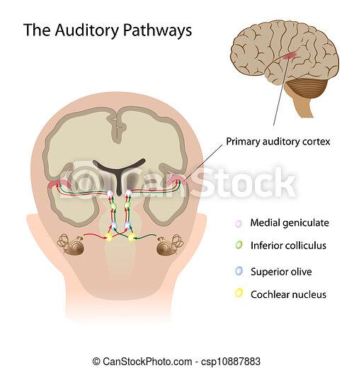Las vías auditivas, Eps10 - csp10887883