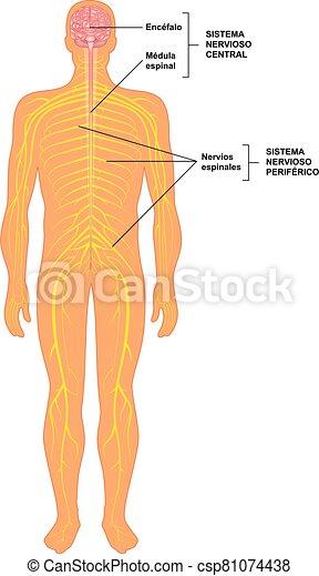 sistema, humano, nervioso - csp81074438