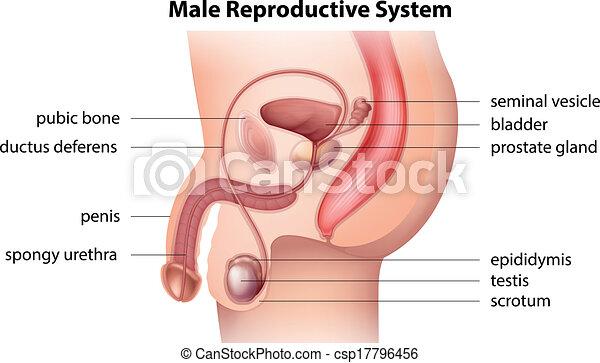 Sistema reproductivo masculino - csp17796456