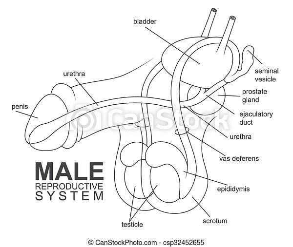Sistema reproductivo masculino - csp32452655