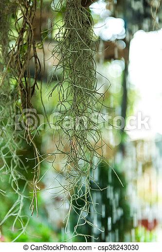 Spanish Moss colgando frente a un telón de fondo con gotas de agua. - csp38243030