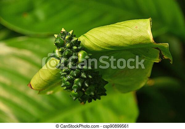 spathiphyllum, verde, flor, cierre, uno, arriba - csp90899561
