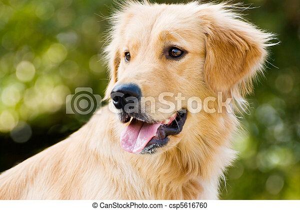 Golden Retriever saca la lengua - csp5616760