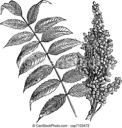Sumac suave (Rhus glabra), grabado añejo. - csp7103472