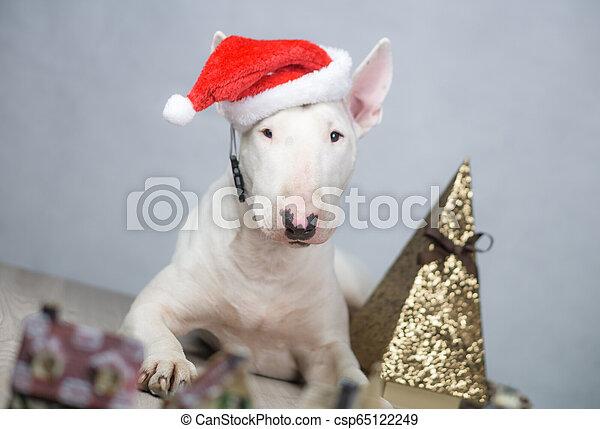 Bull terrier dog con sombrero de Santa en Navidad - csp65122249
