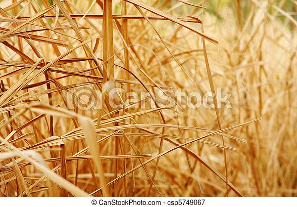 Cierra la textura de fondo de la hierba seca - csp5749067