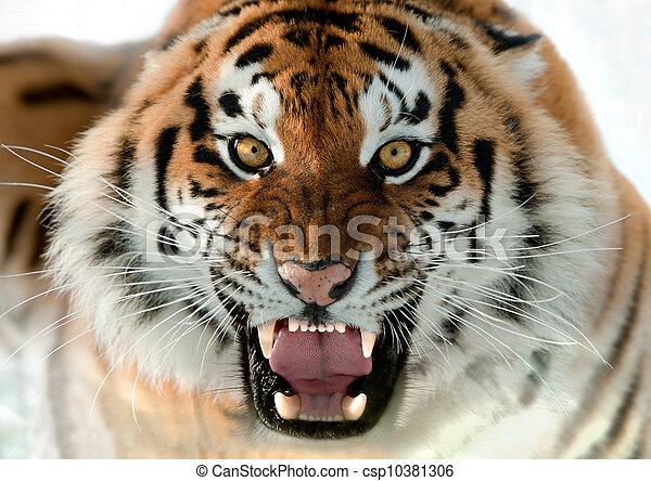 Gruñendo tigre siberiano - csp10381306