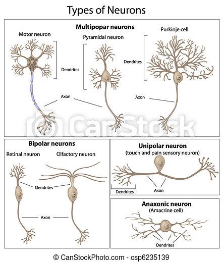 Tipos de neuronas - csp6235139