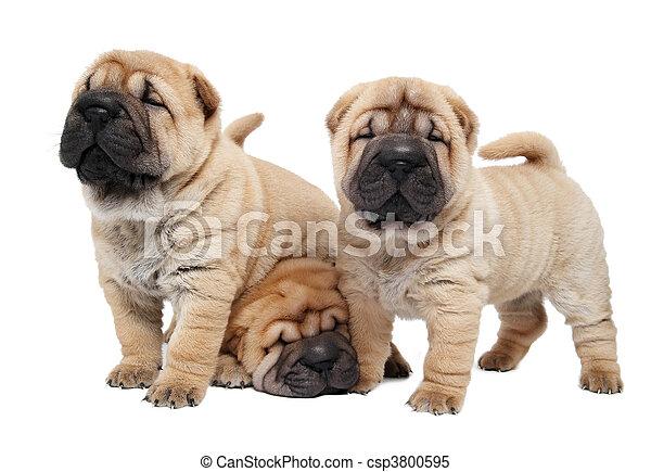 Tres perritos Sharpei - csp3800595