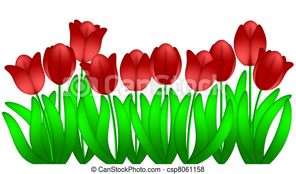 Una fila de tulipanes rojos, flores aisladas de fondo blanco - csp8061158