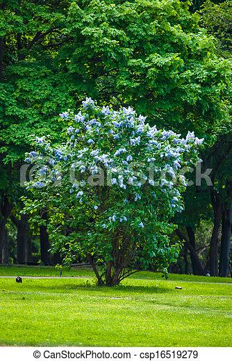Un arbusto de lila azul - csp16519279