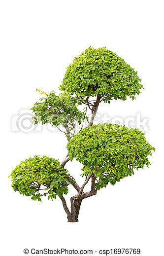 Un arbusto de plantas ornamentales de bougainvilleas aisladas sobre el fondo blanco - csp16976769