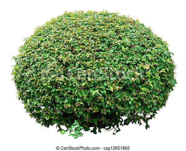 Un arbusto ornamental - csp12651862