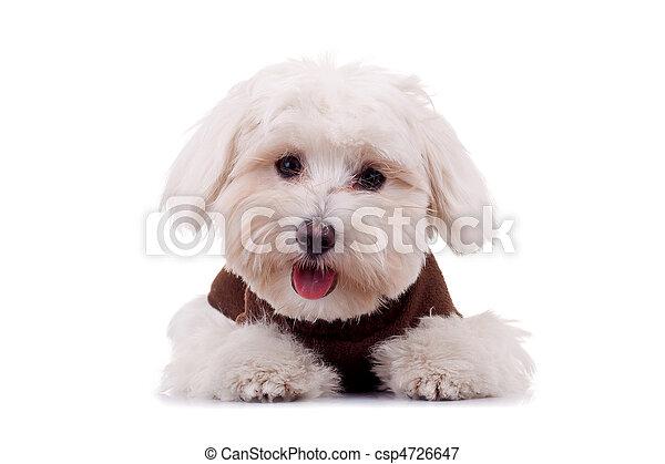 Un cachorro de Bichon con ropa - csp4726647