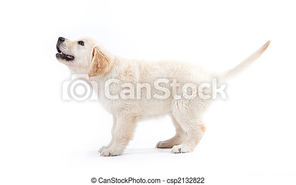 Un joven cachorro golden retriever esperando algo - csp2132822