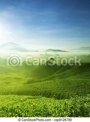 Una granja de té - csp9126790