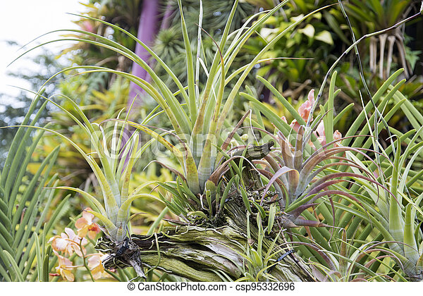 verde, tillandsia, jardín, hermoso, botánico, plantas - csp95332696