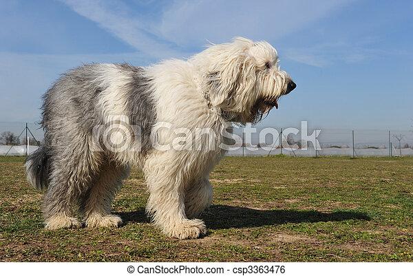 Viejo perro pastor inglés - csp3363476