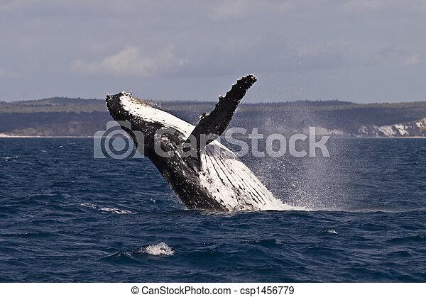 Violación de ballena jorobada - csp1456779