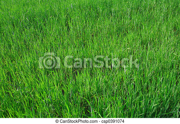Vivido trigo joven - csp0391074