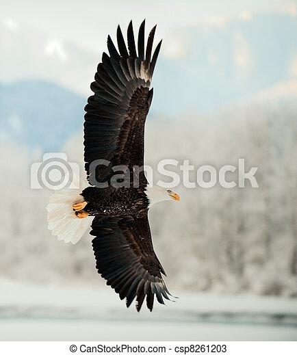 Águila calva voladora. - csp8261203