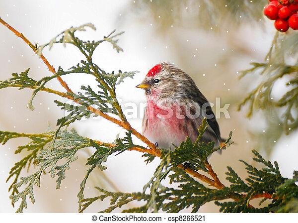 Vaina común masculina en invierno. - csp8266521