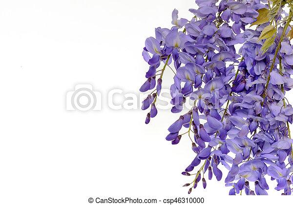 Wisteria flores elemento de diseño floral. - csp46310000