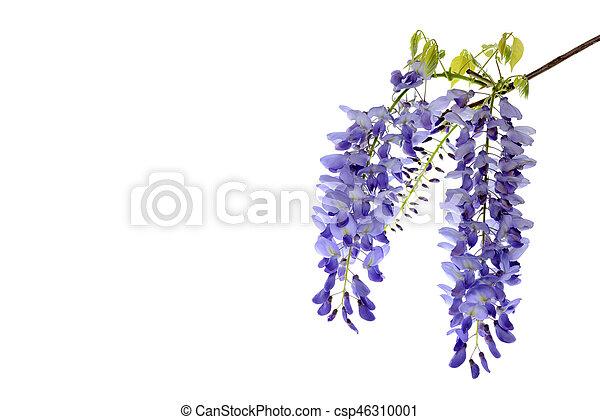 Wisteria flores elemento de diseño floral. - csp46310001