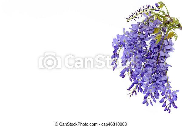 Wisteria flores elemento de diseño floral. - csp46310003