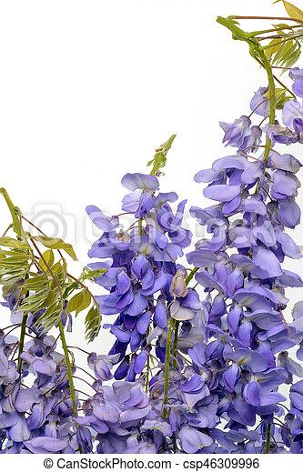 Wisteria flores elemento de diseño floral. - csp46309996